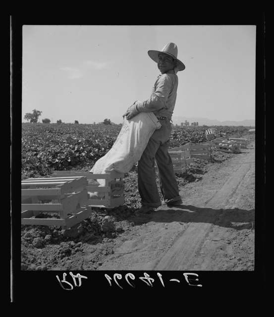 Mexican melon picker of the Imperial Valley, unloading his bag. California