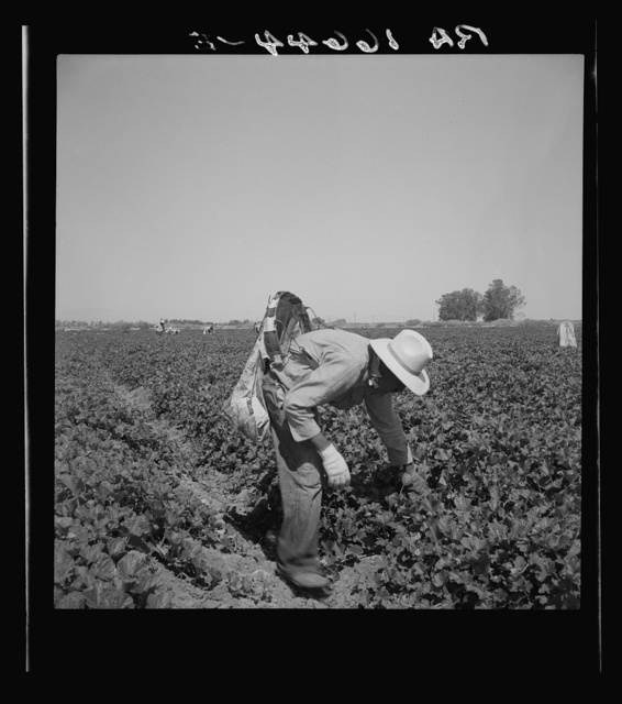 Mexican picking cantaloupes in the Imperial Valley, California. This is highly skilled labor
