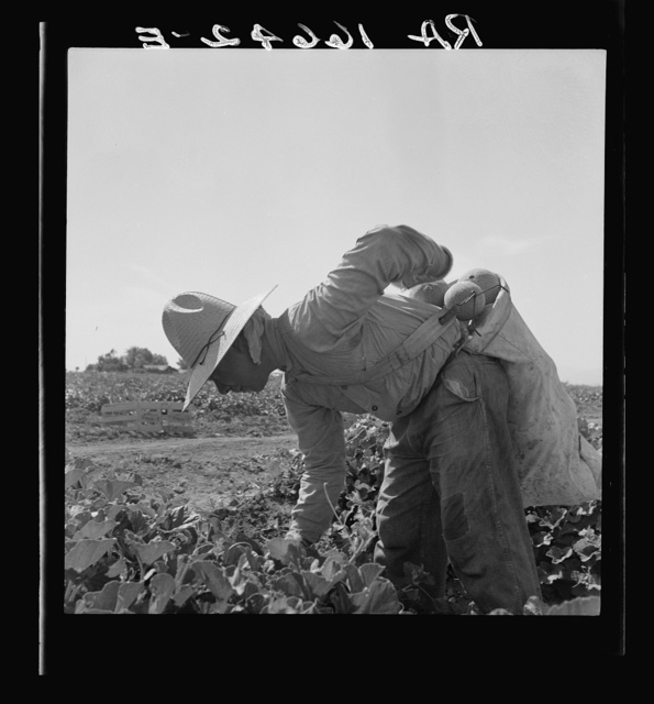 Mexican picking melons in the Imperial Valley, California
