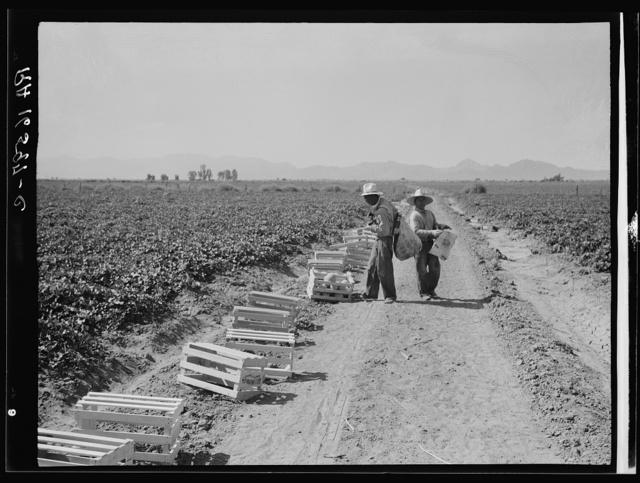 Mexicans picking cantaloupes one mile north of the Mexican border. Imperial Valley, Califoria. 6:00 a.m. This is highly skilled labor