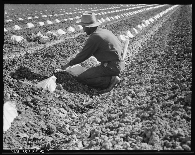 """One of a Mexican field gang of migratory laborers thinning and weeding cantaloupe plants. The young plants are """"capped"""" with wax paper spread over a wire wicket to protect against cold and accelerate growth. The laborers' wages are thirty cents an hour. Imperial Valley, California"""