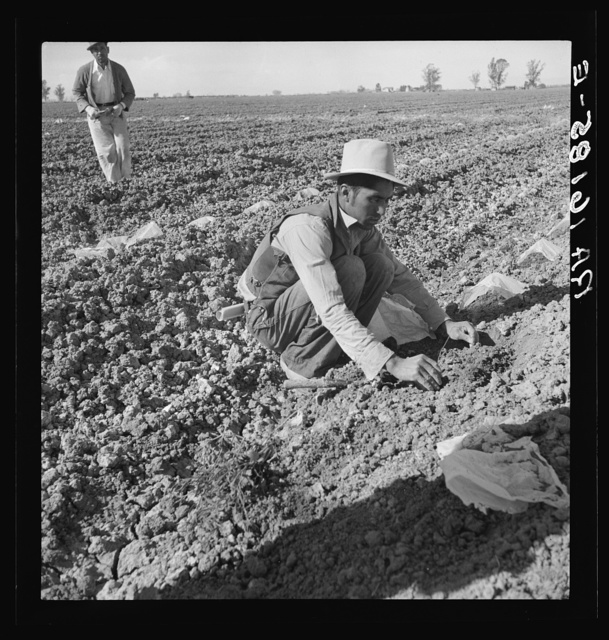 One of a Mexican gang of migratory laborers thinning and weeding cantaloupe plants at thirty cents an hour; the young plants are capped with wax paper spread over a wire wicket to protect against cold and accelerate growth. Imperial Valley, California