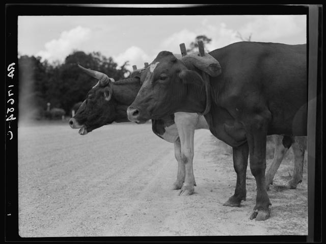 Ox team that hauls pulpwood. Bay Saint Louis, Mississippi