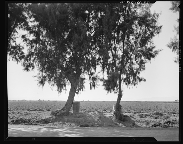 Pea fields of the Imperial Valley, California. Tamarisk trees are commonly planted along the irrigation ditches for shade so necessary in this desert valley. Note water barrels