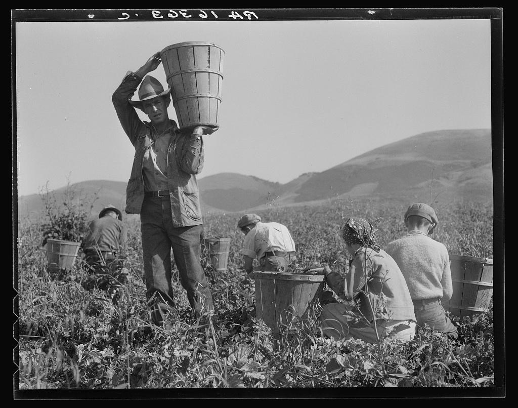 Pea harvest. Family at work. Nipomo, California