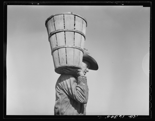 Pea picker carrying a hamper of peas to the weighmaster. Nipomo, California