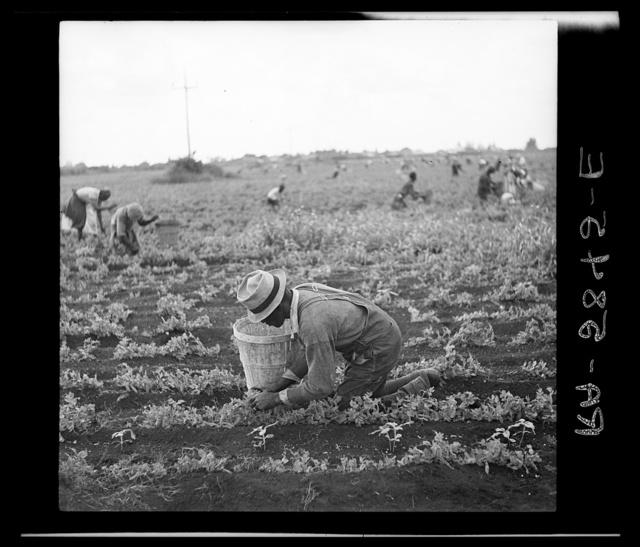 Picking beans. Belle Glade, Florida