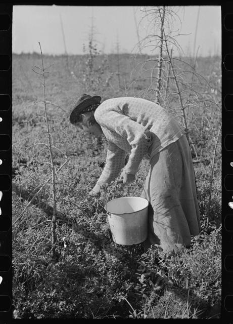 Picking blueberries near Little Fork, Minnesota