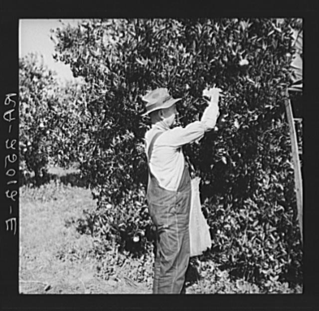 Picking oranges. Hernando County, Florida