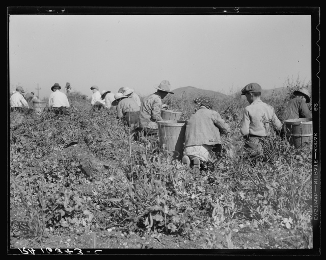 Picking peas near Nipomo, California. Wages: twenty-two cents a hamper