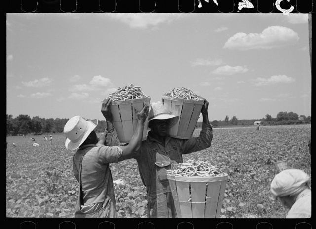 Picking stringbeans near Cambridge, Maryland