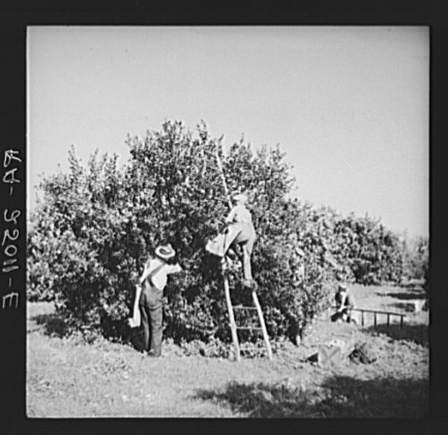 Picking tangerines. Hernando County, Florida