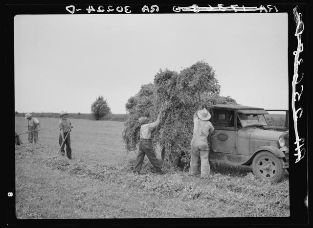 Pitching pea vines on truck in fields near Sun Prairie, Wisconsin