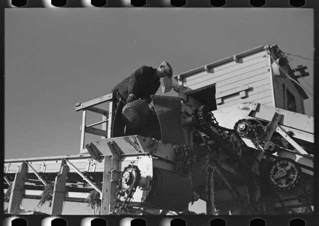 Securing sample of beets being unloaded and piled near East Grand Forks, Minnesota