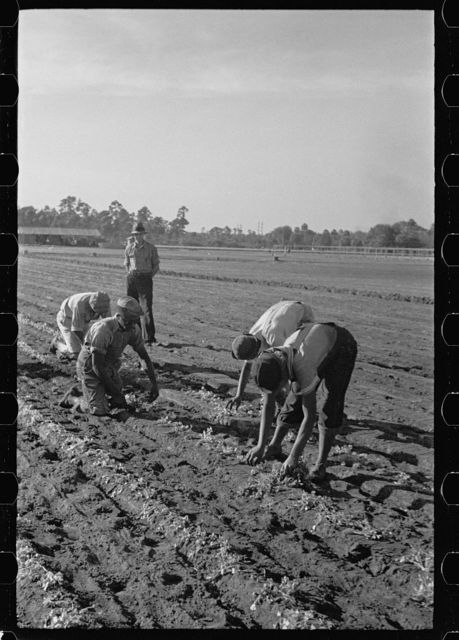Setting out rows of celery, Sanford, Florida