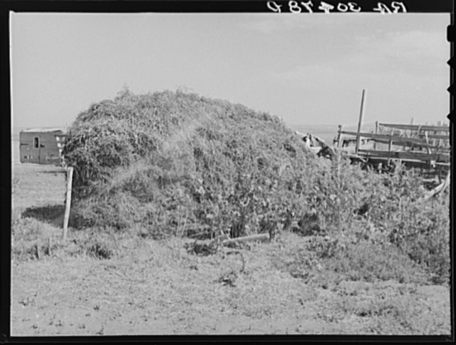 Stack of thistle hay. Williams County, North Dakota. This is only type of feed or roughage that can be obtained locally