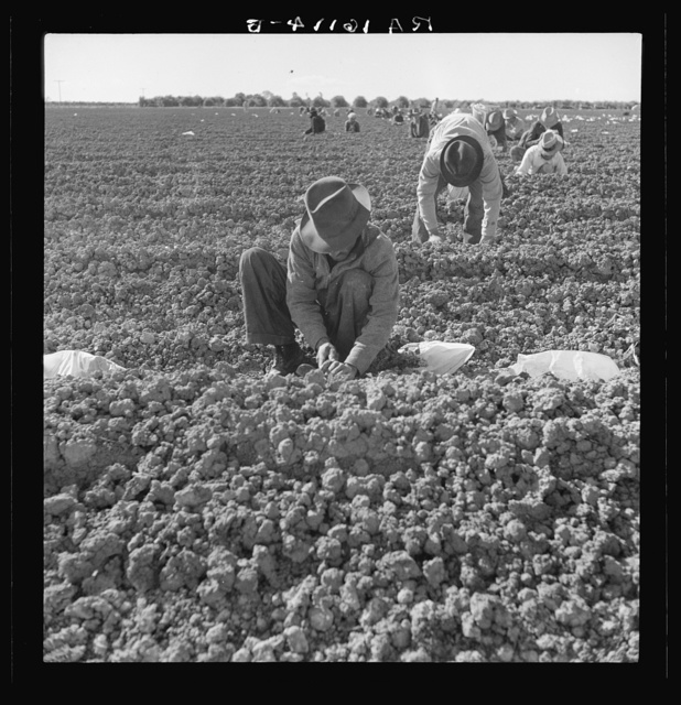 The kind of work drought refugees and Mexicans do in the Imperial Valley, California. Planting cantaloupe