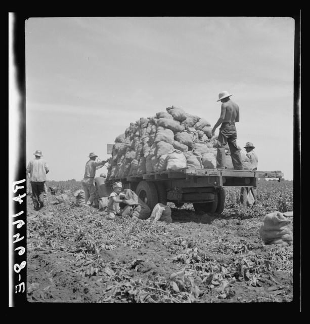Truck being loaded as it goes down the rows. The pickers pick the potatoes from the ground and put them in sack which is suspended from their waist between their knees after the machine has dug them from the ground. This work requires endurance but no special skill. 1937 wages: forty cents an hour. Shafter, California