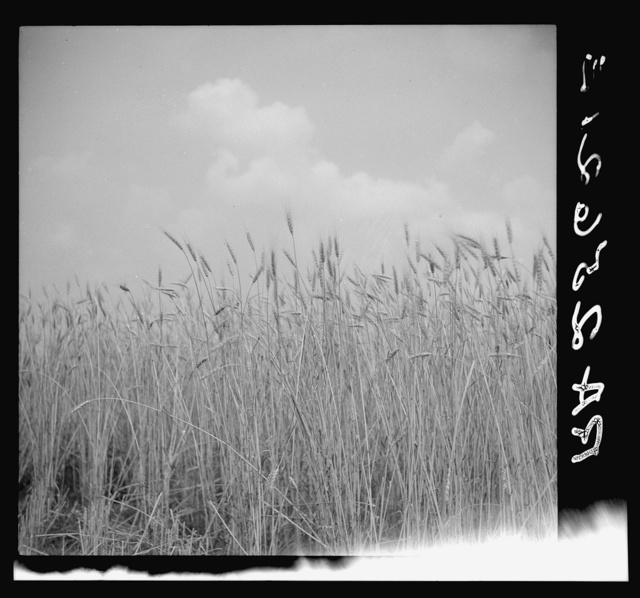 Wheat on the Eastern shore. Wicomico County, Maryland