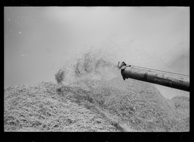 Wheat straw coming out of threshing machine, Frederick, Maryland