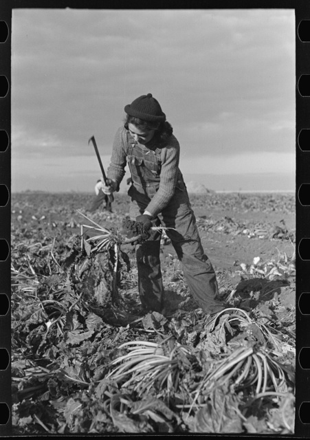Young girl working in the beet fields, near Fisher, Minnesota