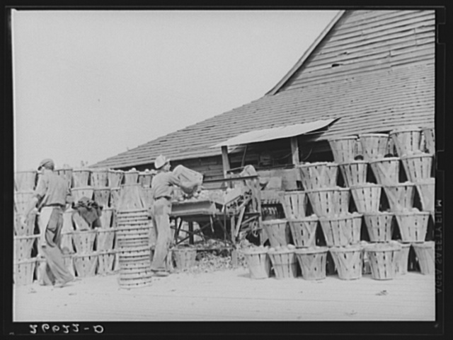 Apples at packinghouse. Camden County, New Jersey
