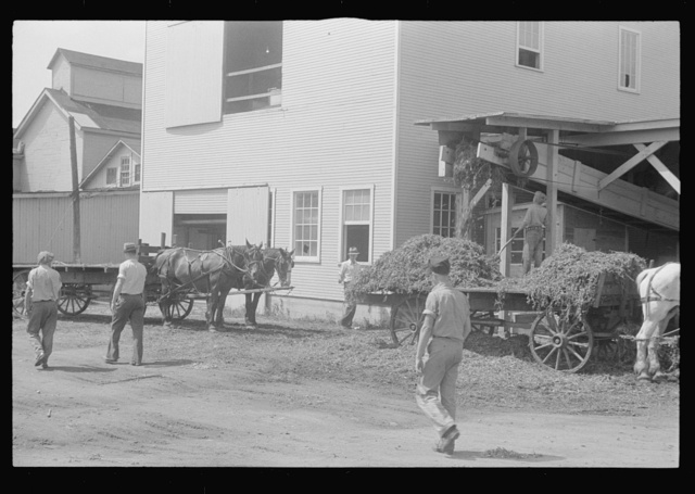 """At a pea vinery,"" central Ohio. Loading waste to be taken back to his farm for feeding"