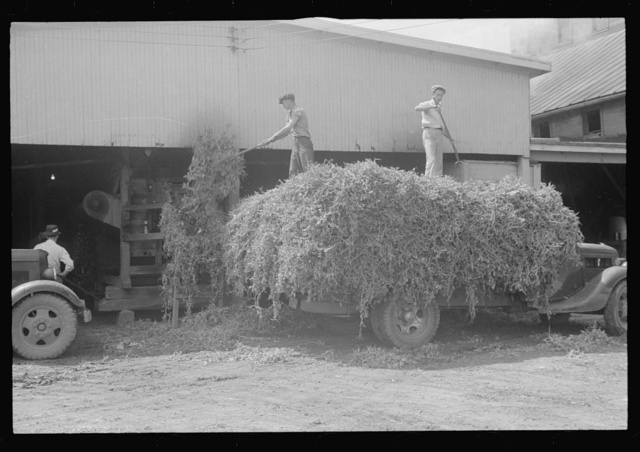 """""""At a pea vinery,"""" central Ohio, unloading peas"""