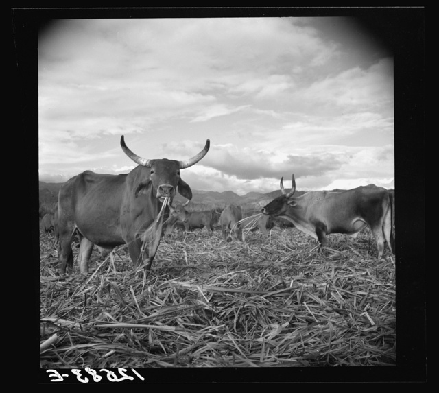 Bulls in the sugar field. These bulls, powerful and well fed, are essential to the industry. They are supposed to be a crossbreed between the Zebu and the Longhorn. In the evenings they are turned loose in the cut-over fields and are allowed to munch the leftover stalks. Near Ponce, Puerto Rico