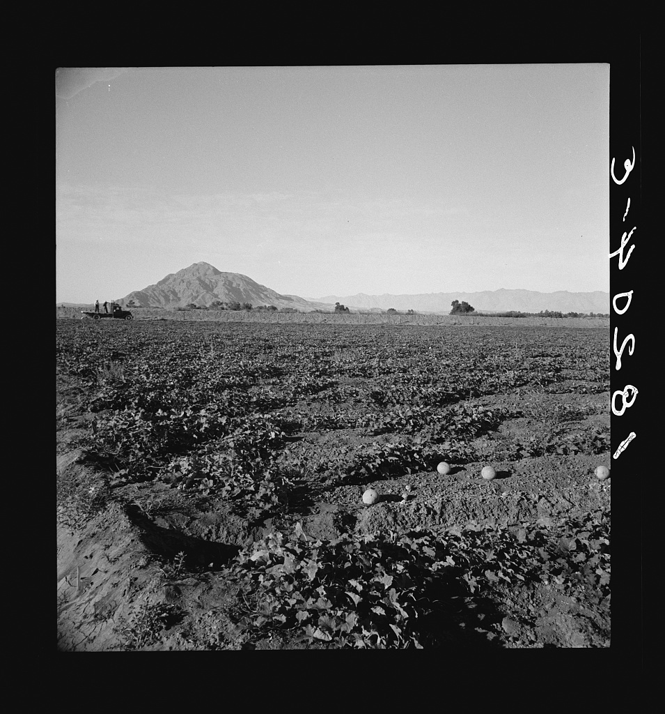 Cantaloupe field, desert agriculture on the Mexican border