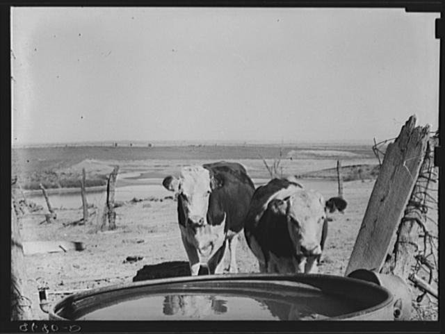 Cattle at watering trough. Ottawa County, Kansas