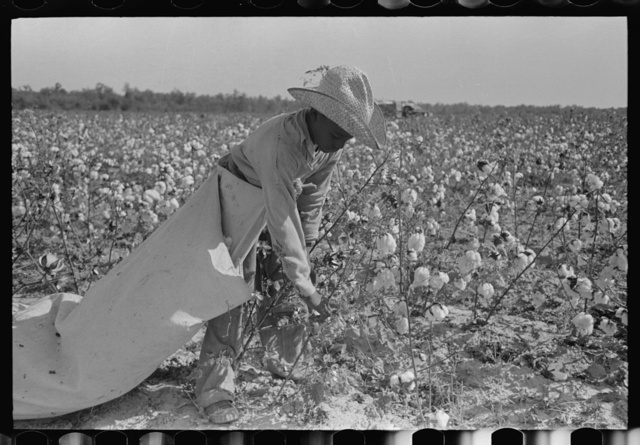 Cotton picker in fields of Lake Dick Cooperative Association. He is paid by the day and lives in Pine Bluff, Arkansas. Rate of pay: seventy-five cents per one hundred pounds