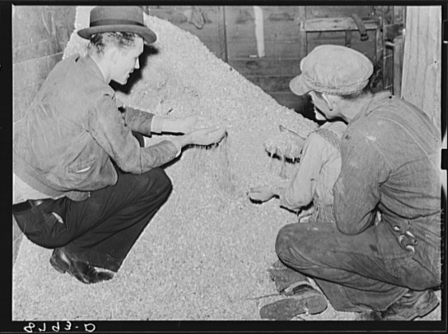 County supervisor examines client's ground feed. York County, Nebraska