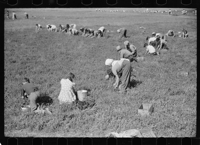 Cranberry pickers in bog, Burlington County, New Jersey