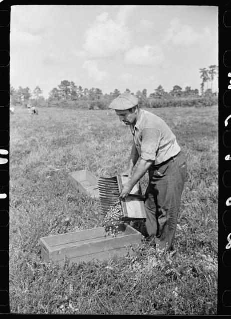 Cranberry scooper emptying the contents of scoop, Burlington County, New Jersey