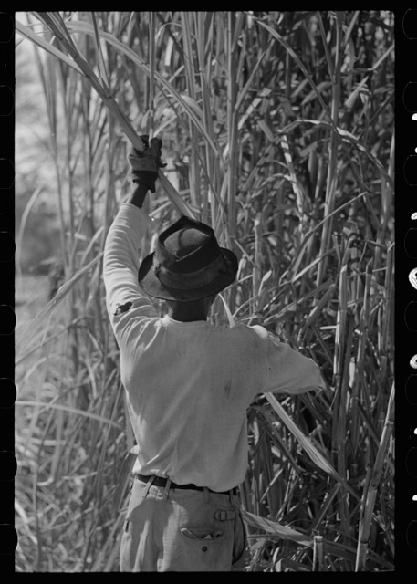 Cutting sugarcane in field, near New Iberia, Louisiana