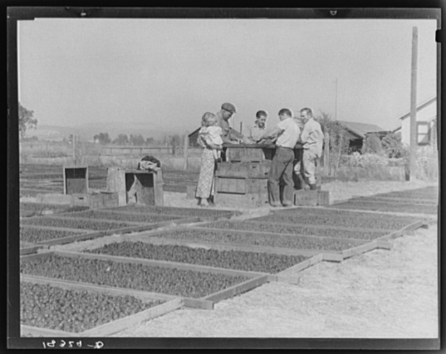 Drying prunes of small California farm. Family labor. Sonoma County, California