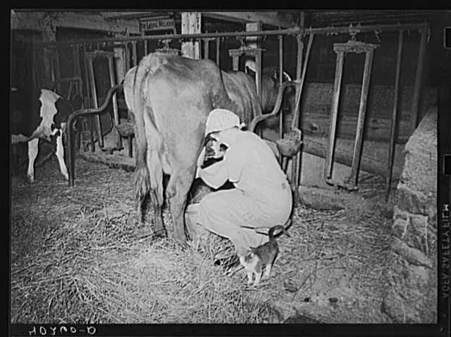 Enos Royer farm, Lancaster County, Pennsylvania. Mrs. Royer milking