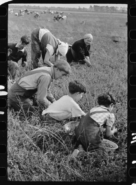 Family from Italian section of Philadelphia working in cranberry bog. Only families with many children are employed. Children are kept out of school for more than two months of the school year. Burlington County, New Jersey