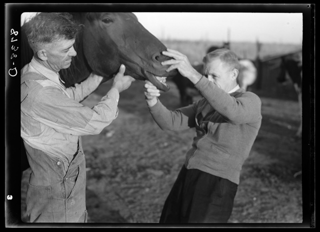 Farm Security Administration county supervisor examining horse's teeth. Cloud County, Kansas