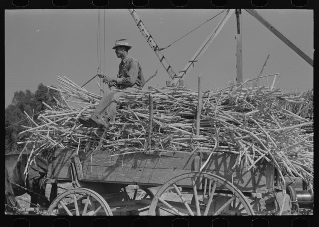 Farmer atop load of sugarcane, New Roads, Louisiana