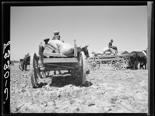 Farmers going home with cotton seed which has been bought cooperatively at Roanoke Farms, North Carolina