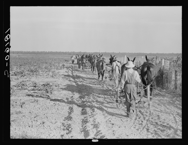 Farmers with mule teams and cultivators. Lake Dick project, Arkansas