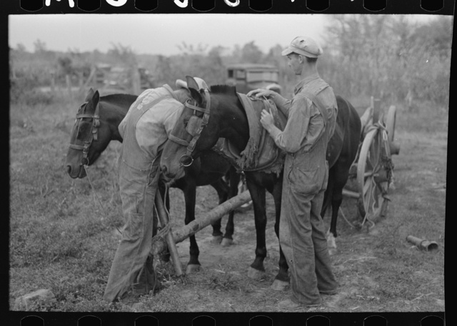 Father and son, farmers near Morganza, Louisiana, unhitching team. This family will receive assistance from the FSA (Farm Security Administration) shortly. Background photo