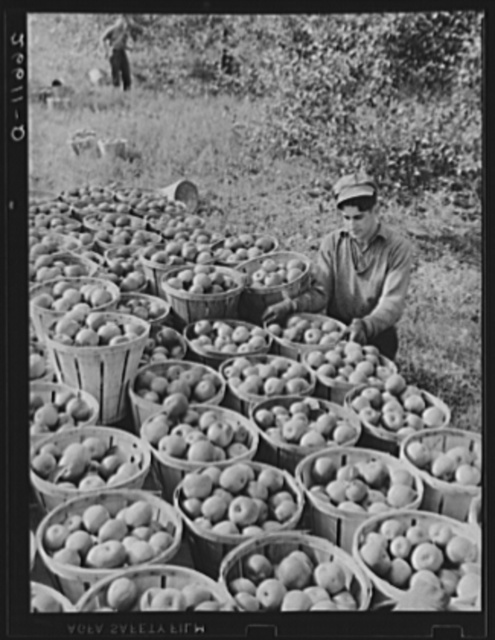 Fruit picker with truck load of apples. Camden County, New Jersey