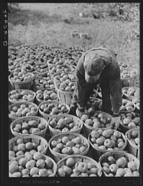 Fruit picker with truckload of apples. Camden County, New Jersey
