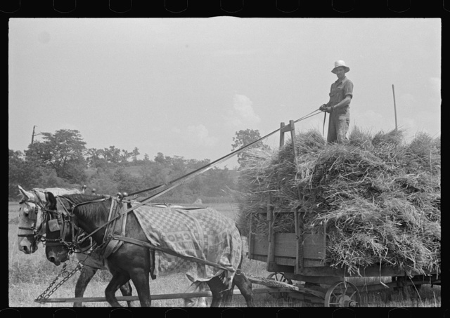 Hauling wheat to thresher, central Ohio