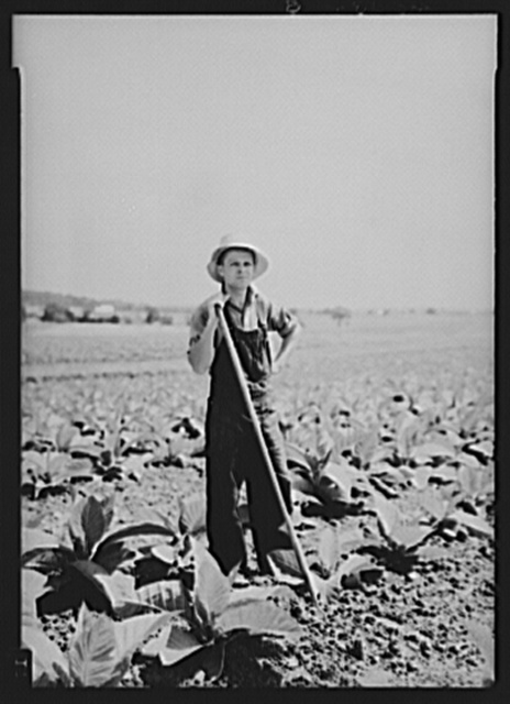 Henry Landis in his father's tobacco field. Lancaster County, Pennsylvania