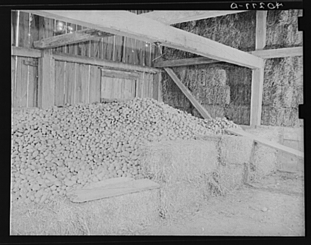 Lancaster County, Pennsylvania. Potatos and hay in the barn on the Enos Royer farm