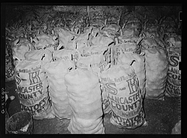 Lancaster County, Pennsylvania. Potatos ready for market in the potato cellar on the Enos Royer farm
